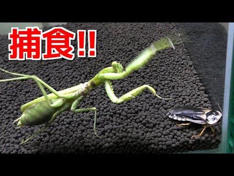 腹ペコのカマキリに巨大ゴキブリを与えた結果…!