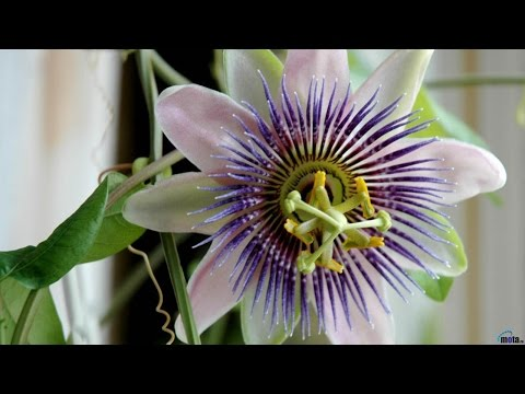 Обриета, или аубреция выращивание из семян в домашних