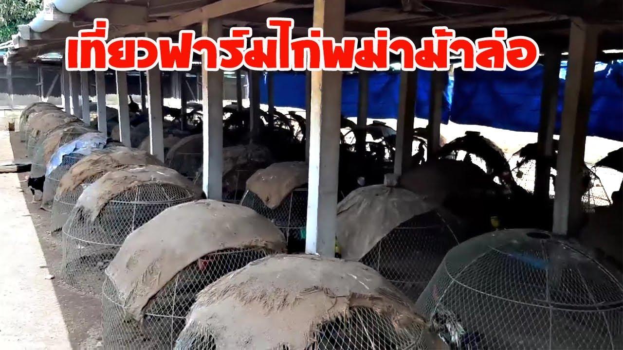 เที่ยวฟาร์มไก่พม่าม้าล่อ ดูการเลี้ยง การดูแล การอนุบาลลูกไก่ (ไอเดียเกษตร)