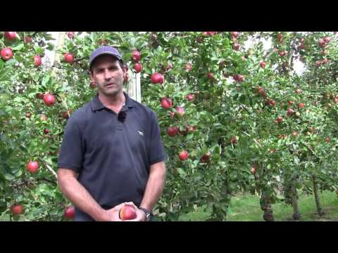 Kalei apples - a grower's experience