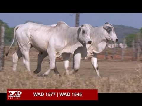 LOTE 57 - WAD 1545 | WAD 1577