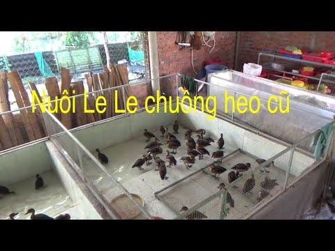 Nuôi Le Le Chuồng Heo Cũ