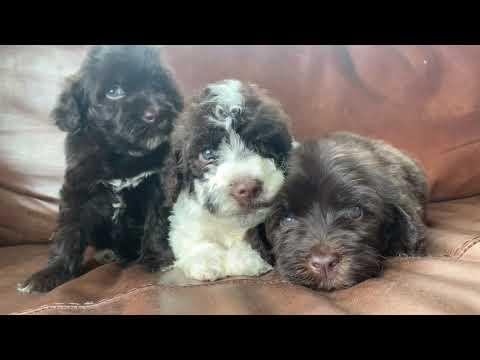 PuppyFinder.com : Brown puppies ready July 7th 2019