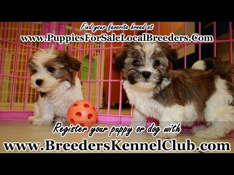 HAVANESE PUPPIES FOR SALE IN GEORGIA LOCAL BREEDERS