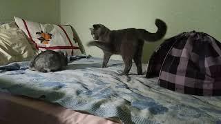 Отбитая шиншилла нападает на кошку