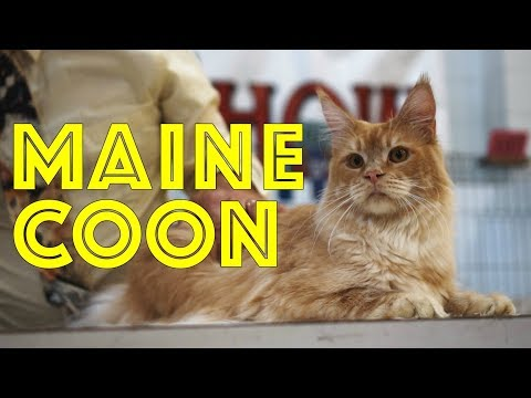 Maine Coons at a TICA Cat Show | The Maine Coon Cat