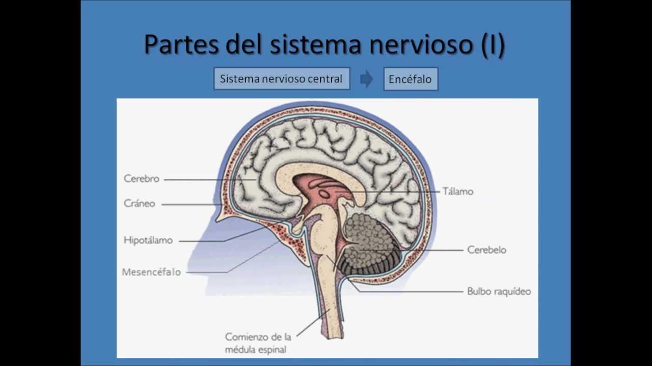 Moderno Diagrama Del Sistema Nervioso Central Para Los Niños Patrón ...