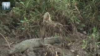 Cocodrilo en el Mololoa causa asombro en Tepic