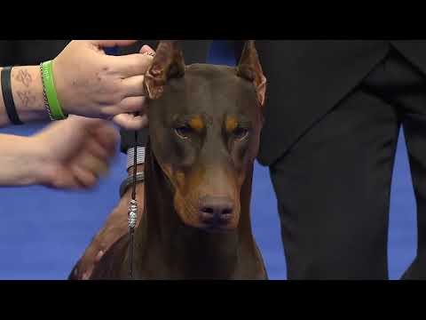 Doberman Pinscher at the 2019 National Dog Show