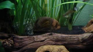 apistogramma macmasteri weibchen bewacht hhle mit eiern in meinem 125l aquarium