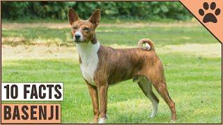 Basenji Dog Breed  Top 10 Facts | Dog World