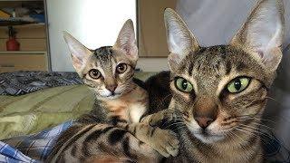 Не упустите шанс купить котенка Сококе в питомнике МИРиСОК