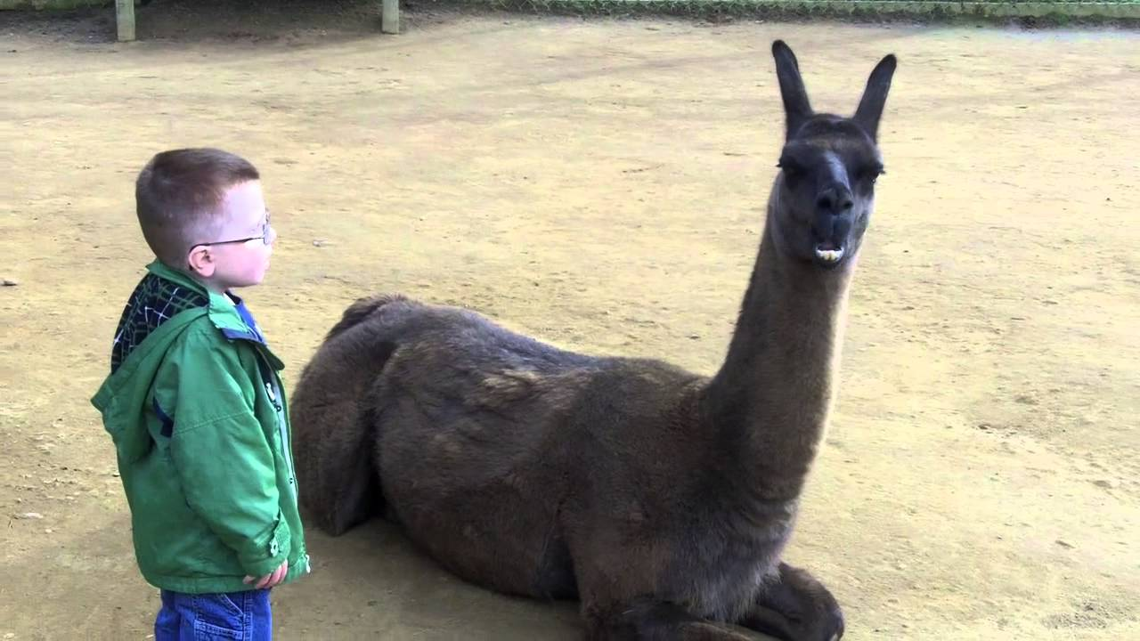 Download Llama spits in kid's face