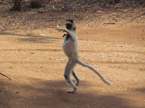 Dancing Lemurs (Verreaux's Sifaka) of Madagascar