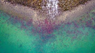 Drone Footage Of Salmon Preparing To Spawn