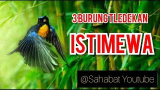 "3 Burung Tledekan _ ""ISTIMEWA"""