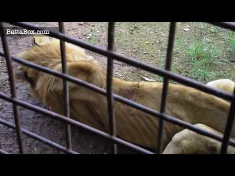 Lions starving to death in Nigeria Zoo