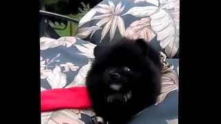 Tux A Rare Tuxedo Teacup Pomeranian. 9 Weeks Old And Adorable.