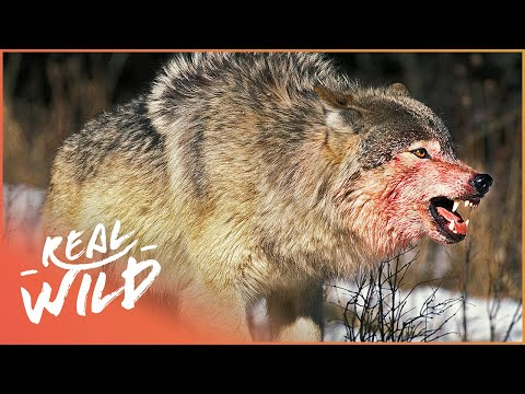 Download Two Wolf Packs Go To War - Who Will Prevail? (Wolf Documentary)   White Wolf   Real Wild