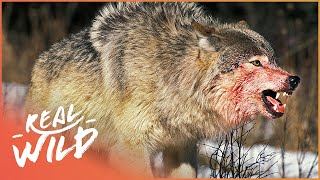 The War Of The Wolf Packs - Part 1 (Wolf Documentary HD) | White Wolf | Real Wild