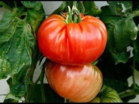 советы для получения большого УРОЖАЯ помидоров   убираем лист и пасынки