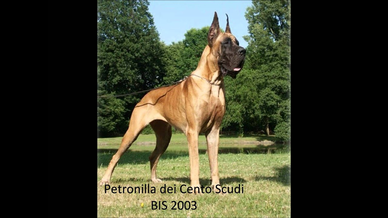 club de race dogue allemand