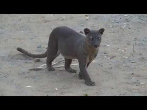 Фосса Мадагаскара. Кошка или мангуст ?