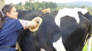 क्या है  गाय के शरीर में इस सुराख़ का सच ? The Truth Behind Fistulated Cows ( Hindi )