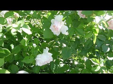 Английские розы Tranquillity, Charles Austin. Сад из роз.