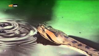Anakonda - Tödliche Riesenschlange im Amazonas-Regenwald in Guyana / Südamerika - ZDFinfo