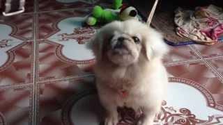 chú chó Bắc Kinh
