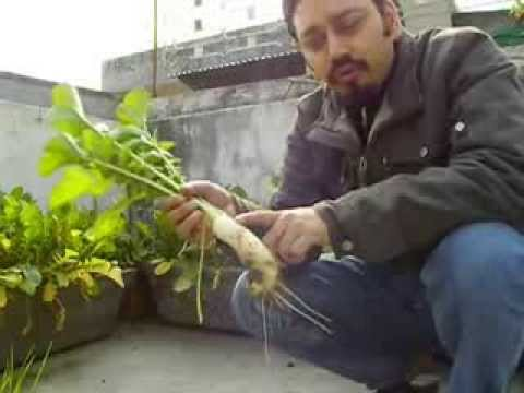 organic farming, rooftop radish farm in India 2014