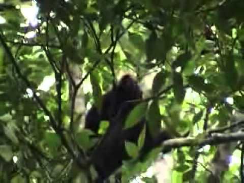 Nilgiri Langur at Peryar Tiger Reserve