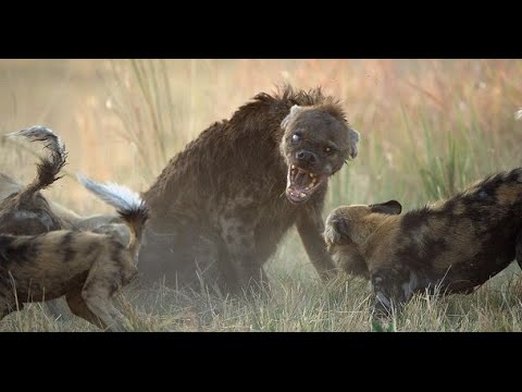 Brutal Killers African Wild Dogs