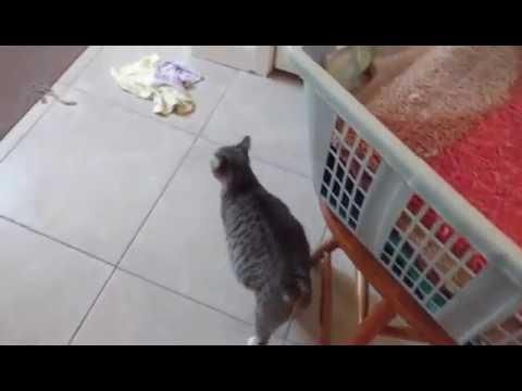 Pregnant Bobtail Cat