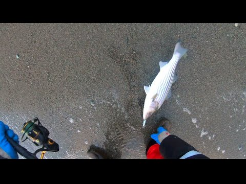 Cold weather surfcasting for Striped bass in Cape Breton, Nova Scotia.