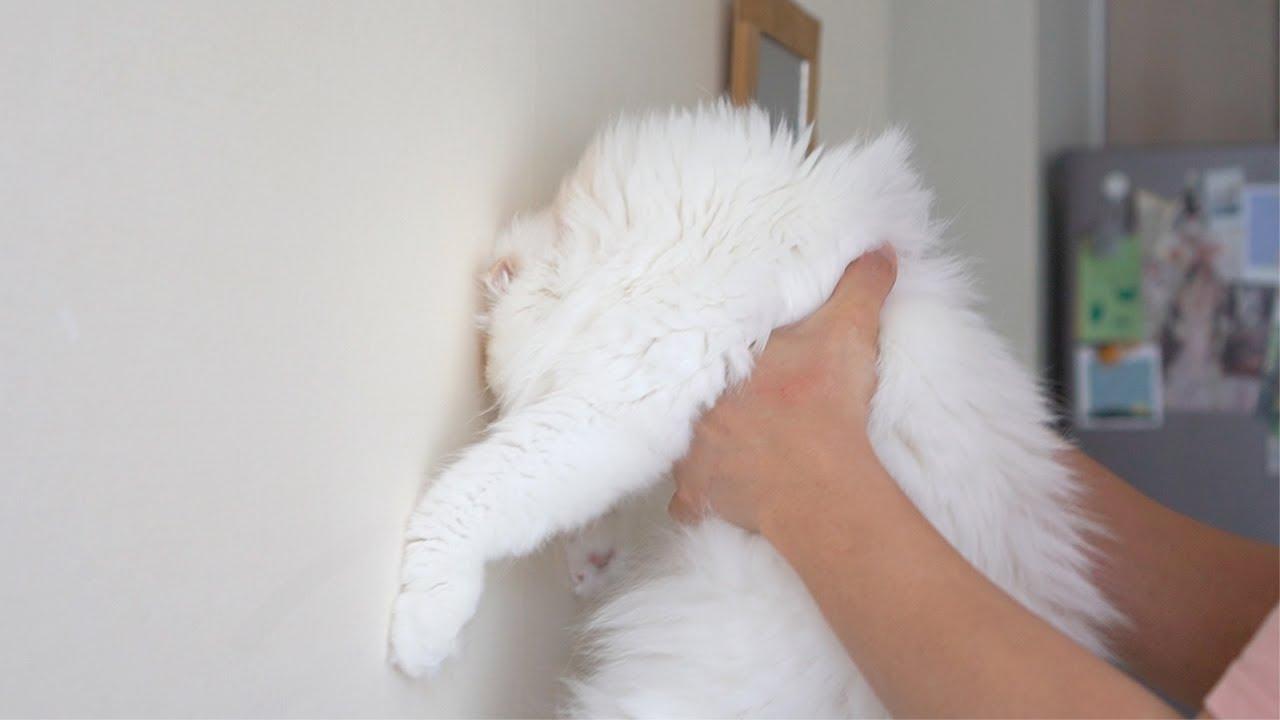 ☁️애옹히어로즈 | 화제의 고양이지능테스트를 해보았습니다... 벽 짚기 챌린지