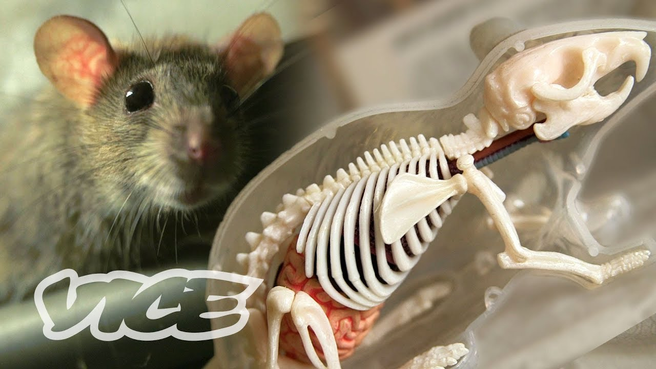 The Invincible 'Super Rats' Genetically Resistant to Poison