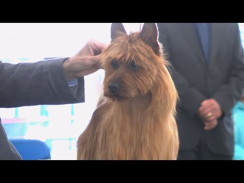 Blackpool Championship Dog Show 2015 - Terrier group