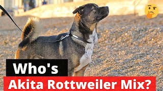 Akita Rottweiler Mix: Interesting Facts and Traits about this Mixbreed