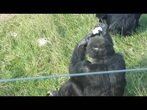 Coron drinking frozen energy milkshakes at the Welsh Mountain Zoo