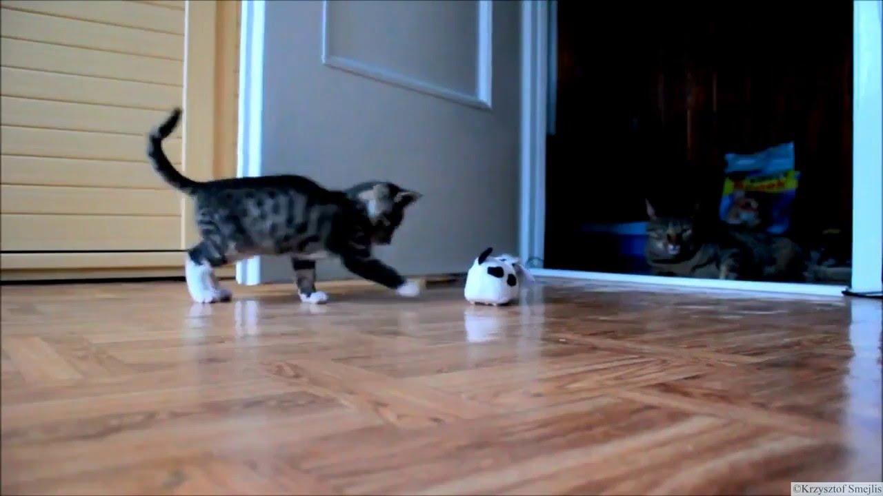 Кошки породы невская маскарадная весят около 6-ти кг, а коты могут превысить планку в 8-9 кг. Шерсть. Невские маскарадные котята рождаются с шерстью, у которой уникальные характеристики: она, как гласят отзывы владельцев, грязе и водоотталкивающая и, к тому же, не образующая колтунов!