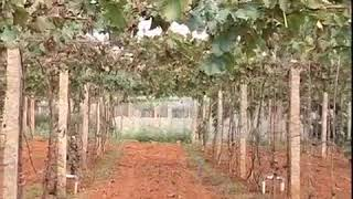 Diseases of grape vine anthracnose