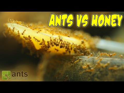 Thumbnail: ANTS VS. HONEY | An Update on My Ant Colonies
