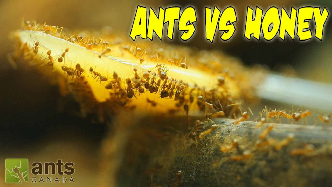 ants-vs-honey-an-update-on-my-ant-colonies
