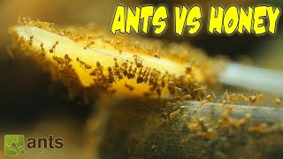 Ants vs. Honey | An Update on My Ant Colonies thumbnail