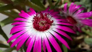 676 - Way to collect seed from Ice Plant /Living Stone Daisy - Mesembryanthemum (Hindi /Urdu)15/3/18
