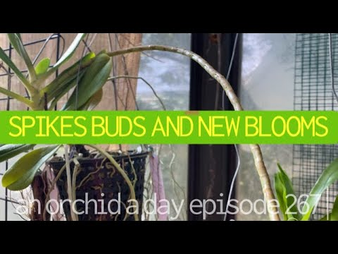 AN ORCHID A DAY EP 267  SPIKES..ORCHID BUDS & BLOOMS #orchidjungle #orchidblooms