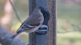"American Goldfinch, ""Champagne Aria"" - November 16, 2013"