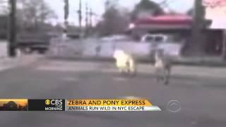 Mini horse and zebra run wild on Staten Island